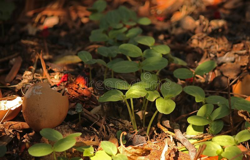 SEEDLINGS AMONGST ELEMENTS ON COMPOST HEAP. Image of tender young green seedlings sprouting on a compost heap in a garden royalty free stock photo