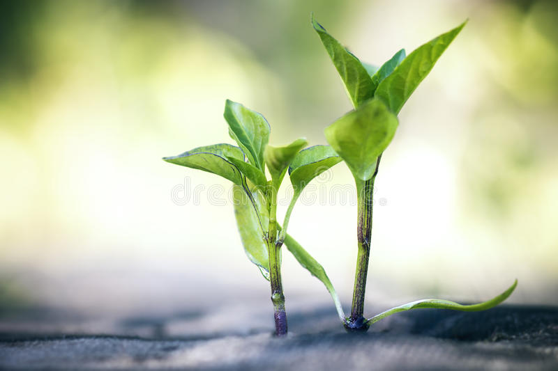 Seedlings of Bell pepper on the ground. Young green seedlings of Bell pepper on the ground covered with a special cloth to preserve moisture and prevent the royalty free stock photography