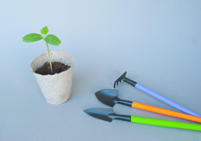 Seedlings of cucumber stock image