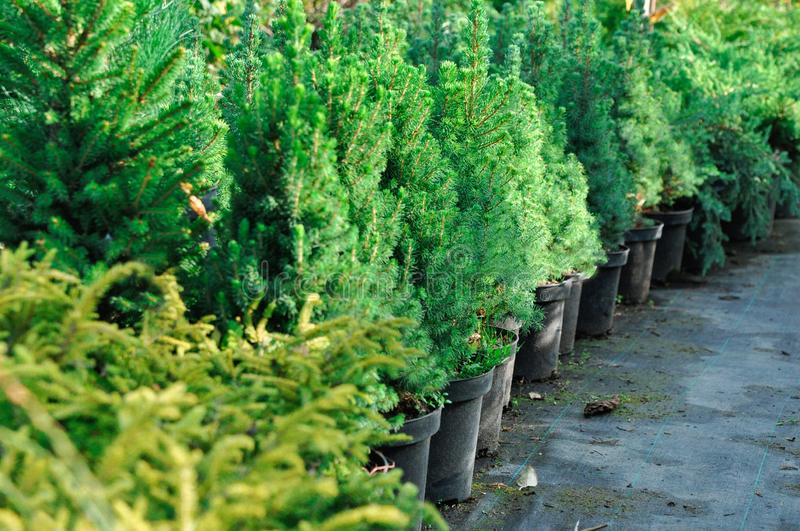 Seedlings in containers at a garden sale. Coniferous tree for planting in the ground stock images