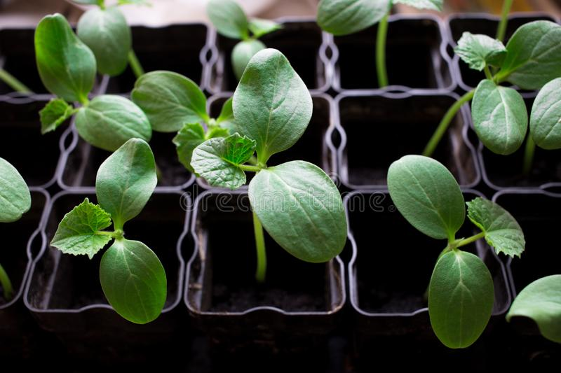 seedlings of cucumbers, small sprouts in black pots, green young plants stock photo