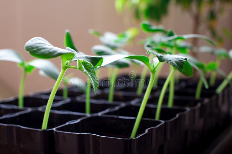 seedlings of cucumbers, small sprouts in black pots, green young plants stock photography