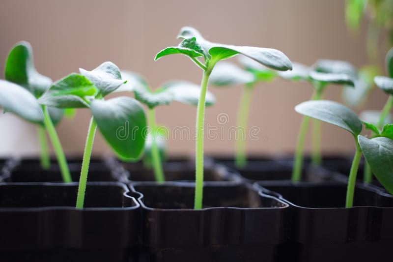 seedlings of cucumbers, small sprouts in black pots, green young plants stock images