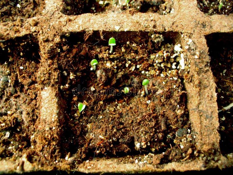 Download Seedlings da erva imagem de stock. Imagem de terra, grade - 52655