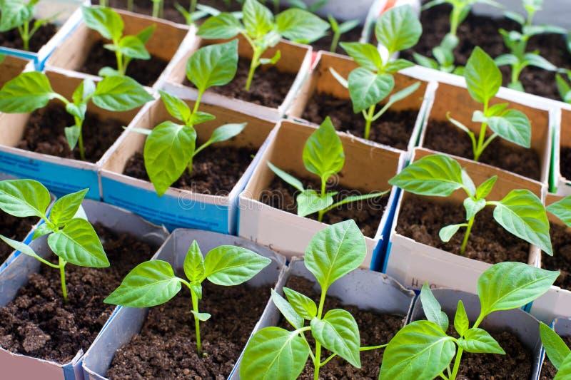 Seedlings da pimenta de Bell fotografia de stock