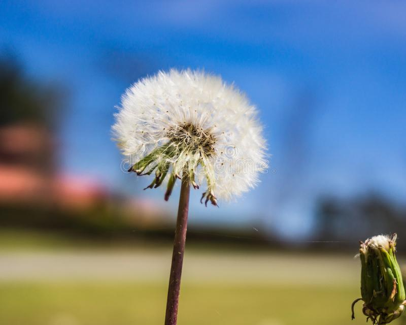 Seedlings of a Dandelion in the spring. Close up image of Seedlings of a Dandelion in the spring before they are all blown away. Fully in tact stock photos