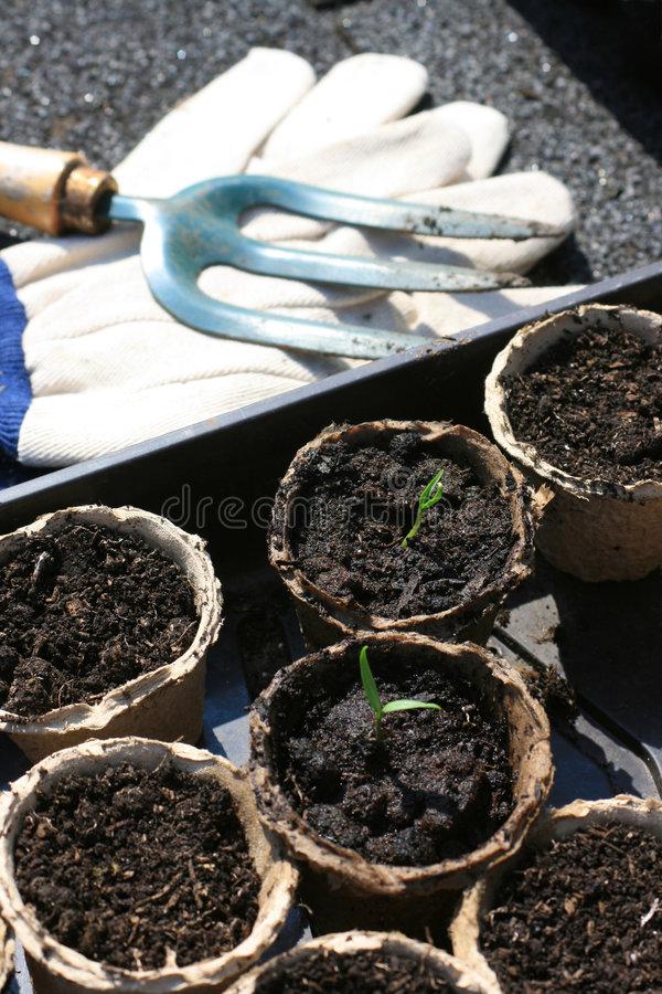 Seedlings do tomate imagem de stock