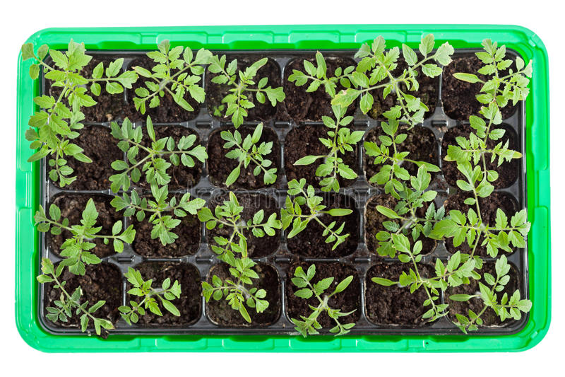 Seedlings do tomate na bandeja da germinação fotografia de stock