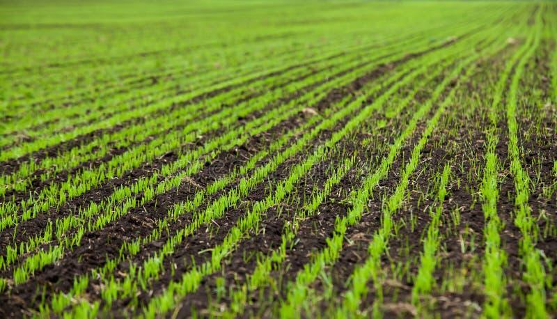 Seedlings do trigo crescidos nos campos rurais dentro cedo imagens de stock