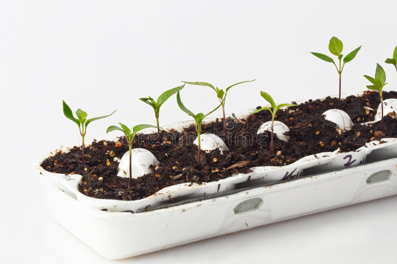 Seedlings in Egg Carton. Healthy pepper seedlings in an egg crate, ready for spring planting. High key image with white background stock image