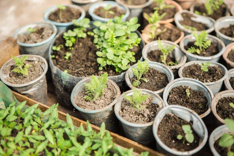 Seedlings of flowers stock image