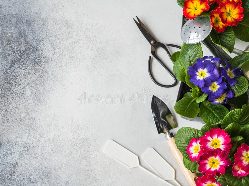 Seedlings of flowers multicolored primroses and various garden tools on a gray background. Garden concept. Top view. Copy space royalty free stock photo