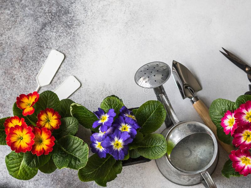 Seedlings of flowers multicolored primroses and various garden tools on a gray background. Garden concept. Top view. Copy space stock photography