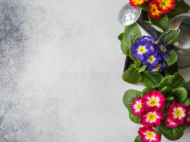 Seedlings of flowers multicolored primroses and watering pot on a gray background. Garden concept. Top view. Copy space royalty free stock image
