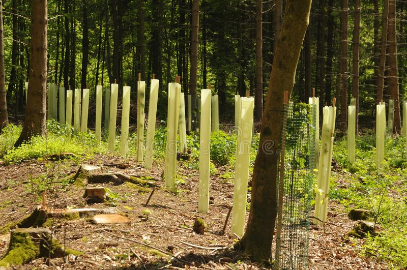 Seedlings in a forest glade protected with tree shelters royalty free stock photography