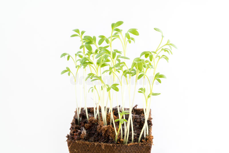 Seedlings of garden cress in peat pot royalty free stock photos