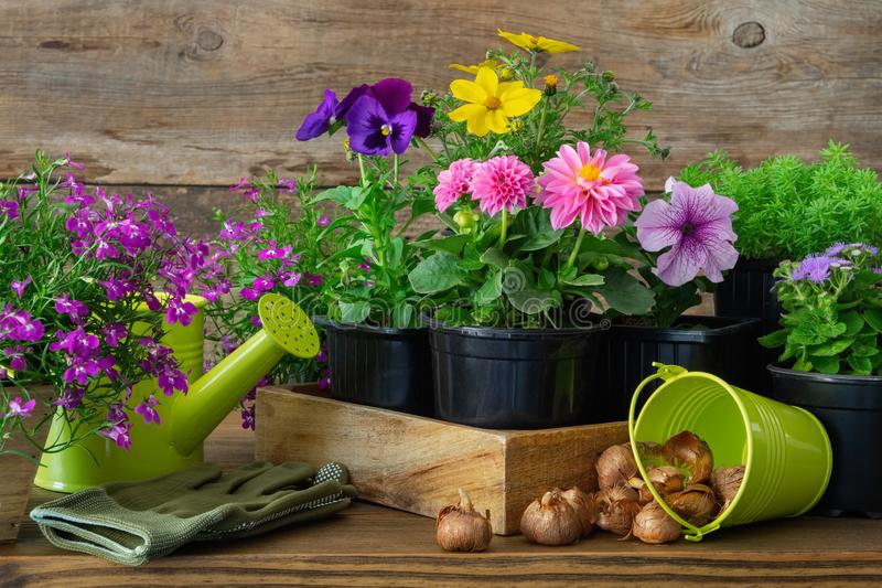 Seedlings of garden plants and flowers in flowerpots, bulbs of spring flowers, watering can, bucket, gloves. stock photography
