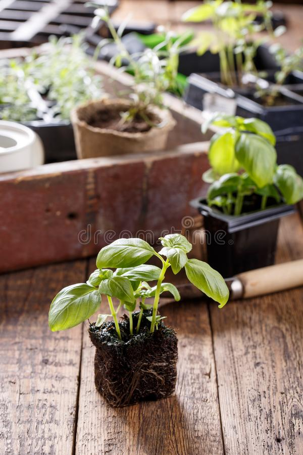 Seedlings of green basil stock photo