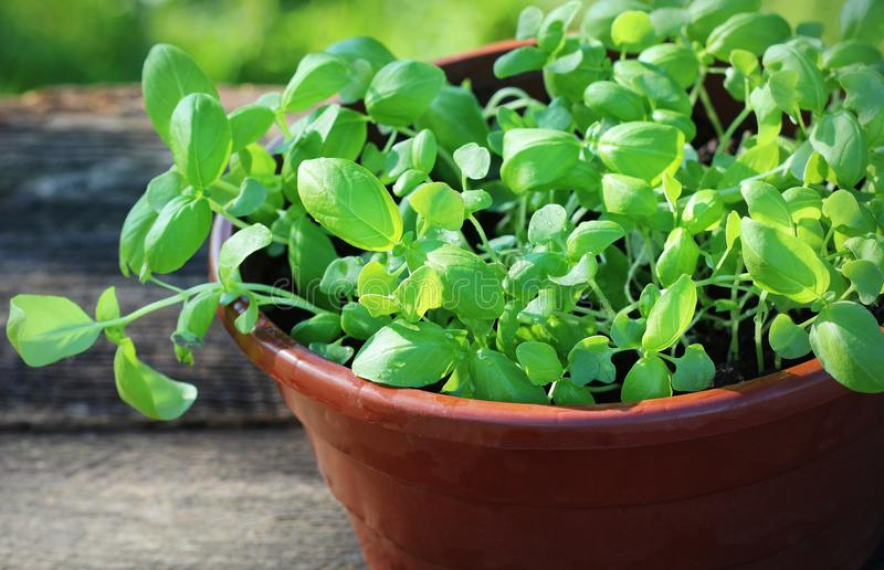 Seedlings of green basil. Young herbs sprouts ready for planting. Gardening concept royalty free stock photos