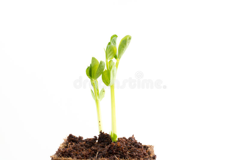Seedlings of green pea in peat pot royalty free stock photos