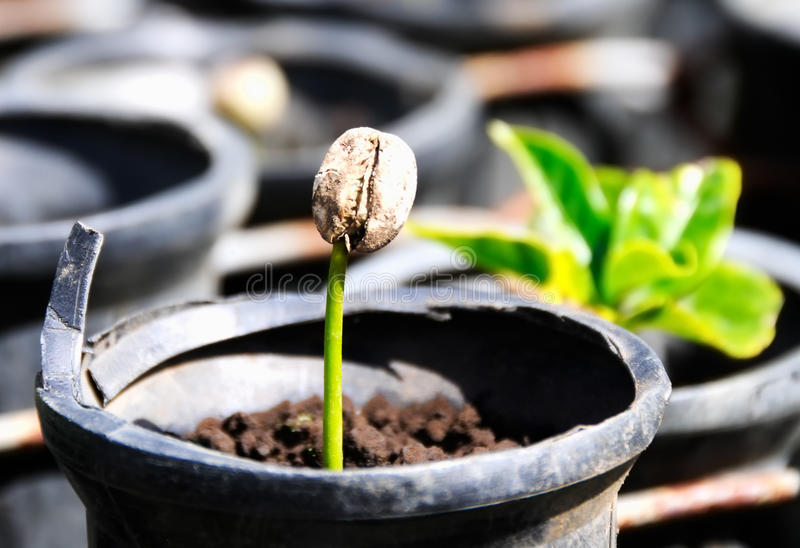 Seedlings from growing coffee beans in pot stock photos