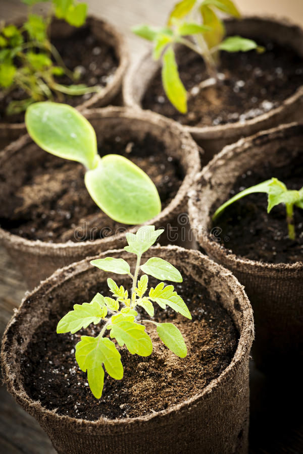 Seedlings growing in peat moss pots royalty free stock photos