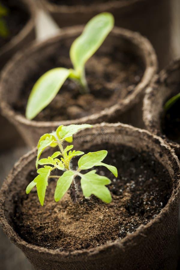 Seedlings growing in peat moss pots royalty free stock photo