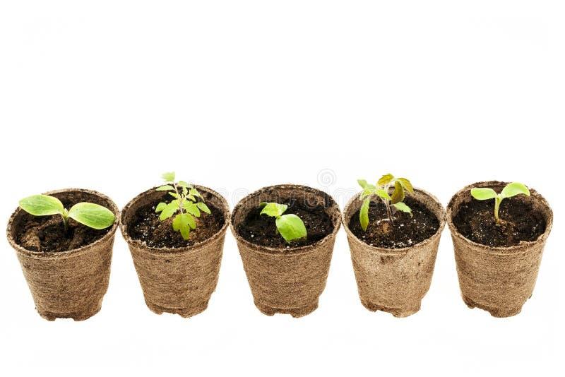 Seedlings growing in peat moss pots stock image