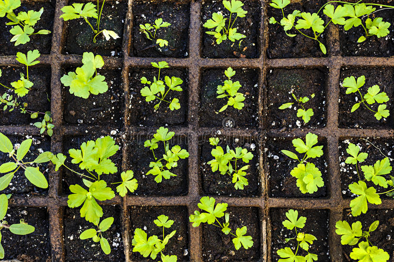 Seedlings growing in starter tray royalty free stock photography