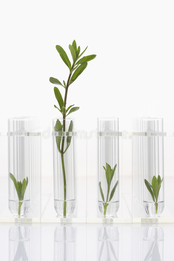Seedlings growing in test tubes one larger plant contrasted with three smaller ones royalty free stock image