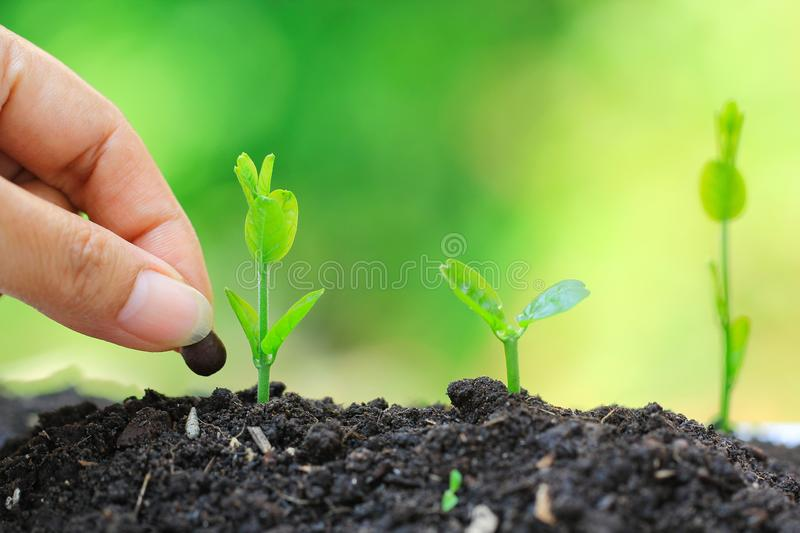 Seedlings are grown from the ground and Hand planting a seed in soil agriculture on natural green background, Growing plants. Concept stock photography