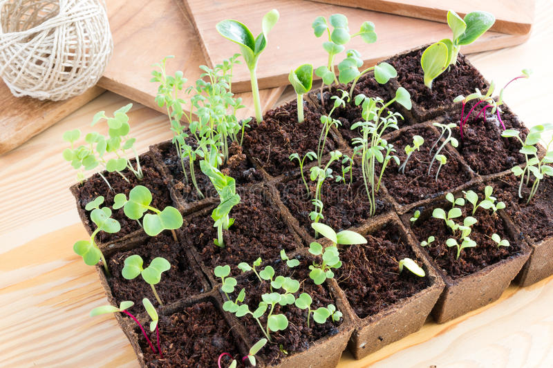 Seedlings of herbs and vegetables in peat pots royalty free stock images