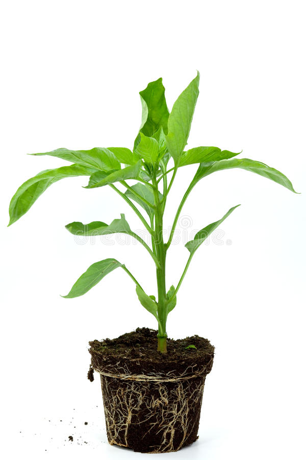 Seedlings illustrating the concept of new life-cap. Sicum annuum royalty free stock images