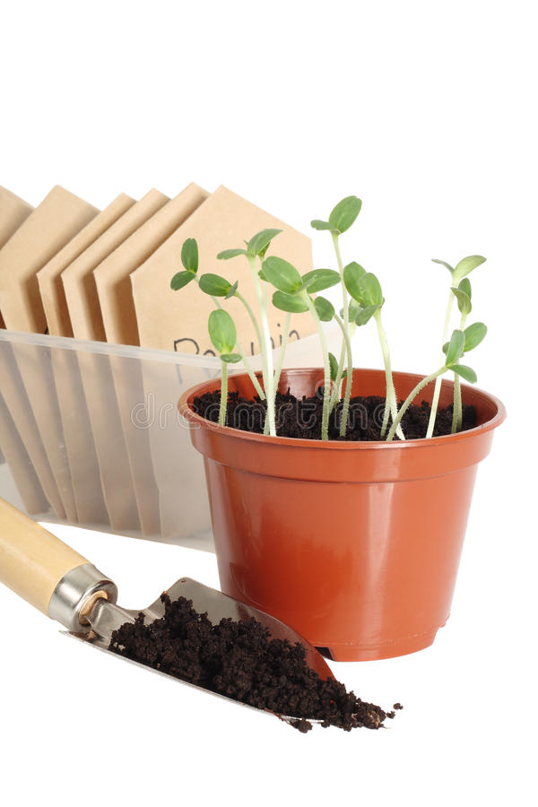 Free Seedlings In Pot Royalty Free Stock Images - 10116129