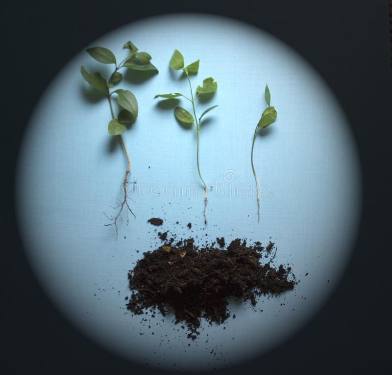 3 Seedlings from large to small above soil against blue background under spotlight stock photo
