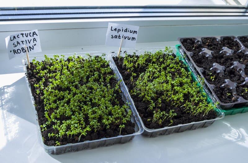 Sprouts of seedlings grow. Organic plant growing.-image. Seedlings of lettuce growing indoors. Clear sunny day. Organic plant growing stock photo