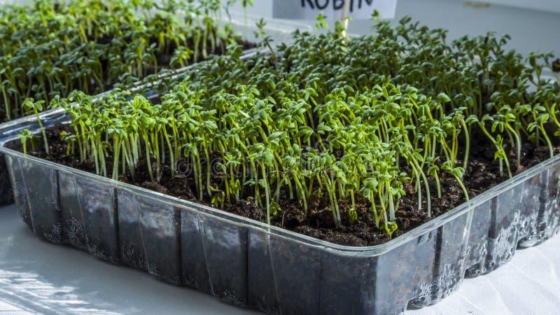 Sprouts of seedlings grow. Organic plant growing-image. Seedlings of lettuce growing indoors. Clear sunny day. Organic plant growing stock photos