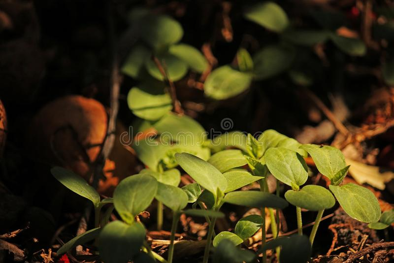 SEEDLINGS IN LIGHT ON THE COMPOST HEAP. Image of tender young green seedlings sprouting on a compost heap in a garden stock photo