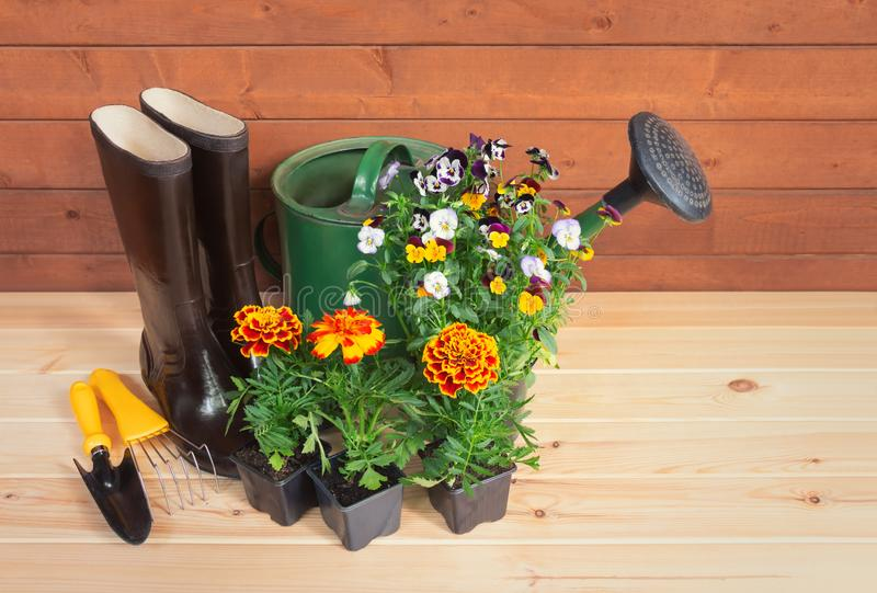 Seedlings of marigold and pansy flowers, rubber boots, gardening tools and watering can on wooden background. royalty free stock photo