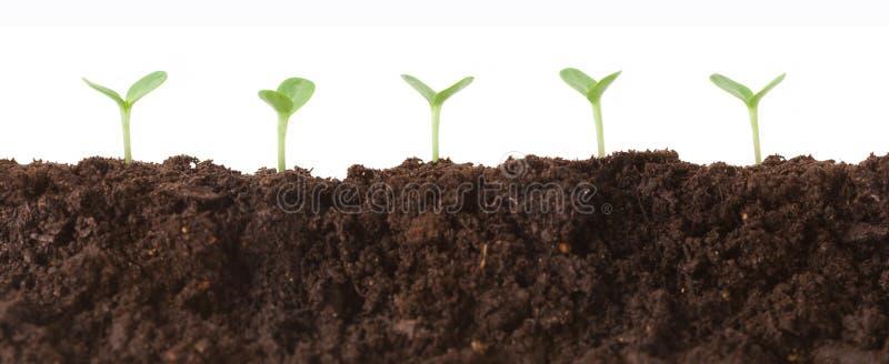 Seedlings no perfil da sujeira imagens de stock