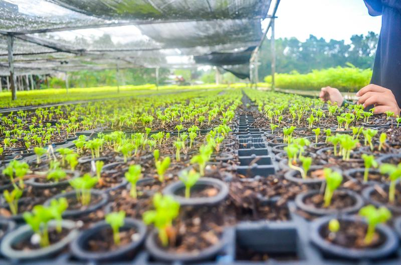 Seedlings in the nursery. Seeds of fast growing tree species in the nursery of forest concession company in  Indonesia. industrial and environmental background stock image