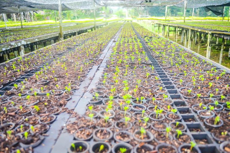 Seedlings in the nursery. Seeds of fast growing tree species in the nursery of forest concession company in  Indonesia. industrial and environmental background stock photo