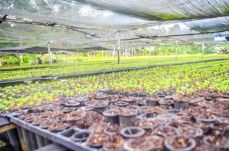 Seedlings in the nursery. Seeds of fast growing tree species in the nursery of forest concession company in  Indonesia. industrial and environmental background stock photos