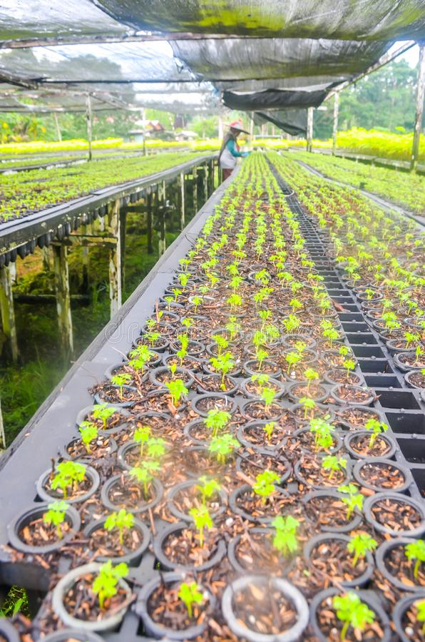 Seedlings in the nursery. Seeds of fast growing tree species in the nursery of forest concession company in  Indonesia. industrial and environmental background royalty free stock photo
