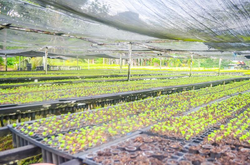 Seedlings in the nursery. Seeds of fast growing tree species in the nursery of forest concession company in  Indonesia. industrial and environmental background royalty free stock photos