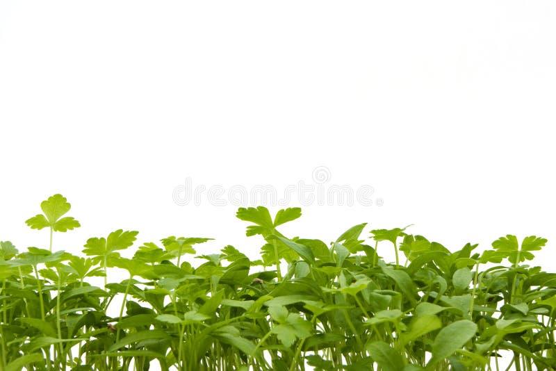 Seedlings Over White Stock Photography