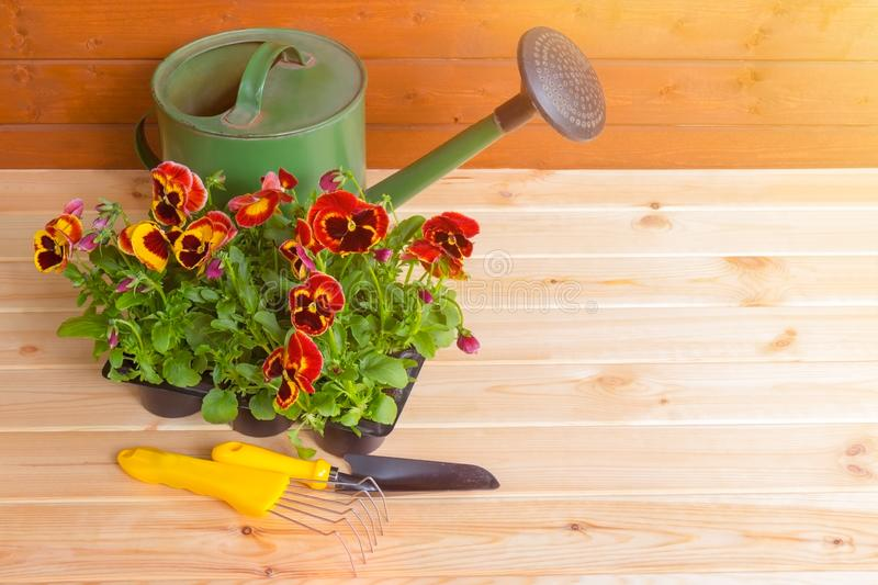 Seedlings of pansies flowers in pot, gardening tools and green watering can on wooden background. stock photos