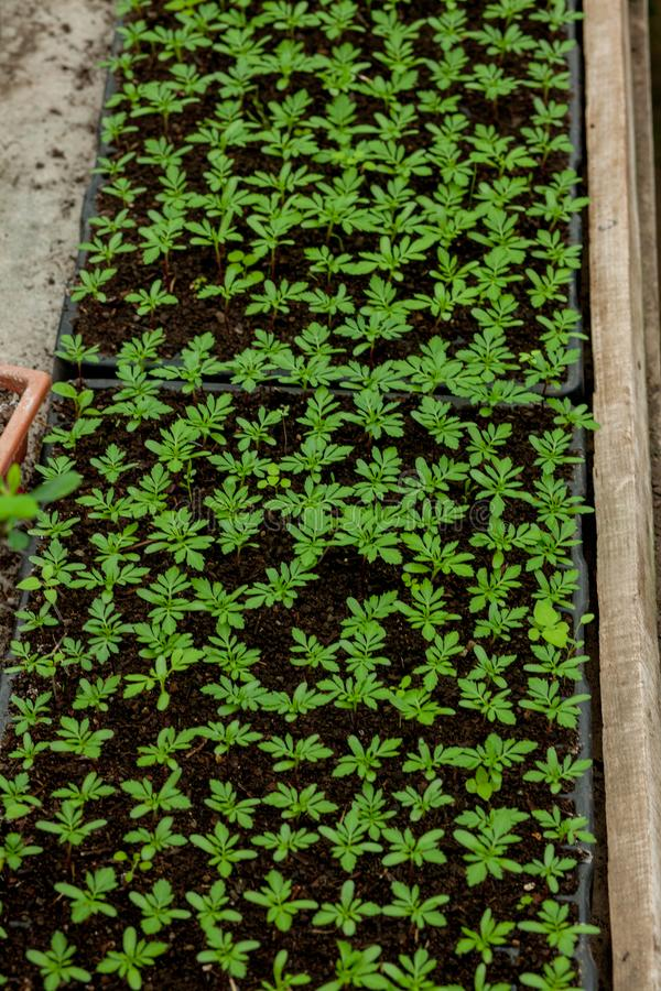 Seedlings in peat pots.Baby plants seeding, black hole trays for agricultural seedlings.The spring planting. Early seedling ,. Grown from seeds in boxes at home stock image