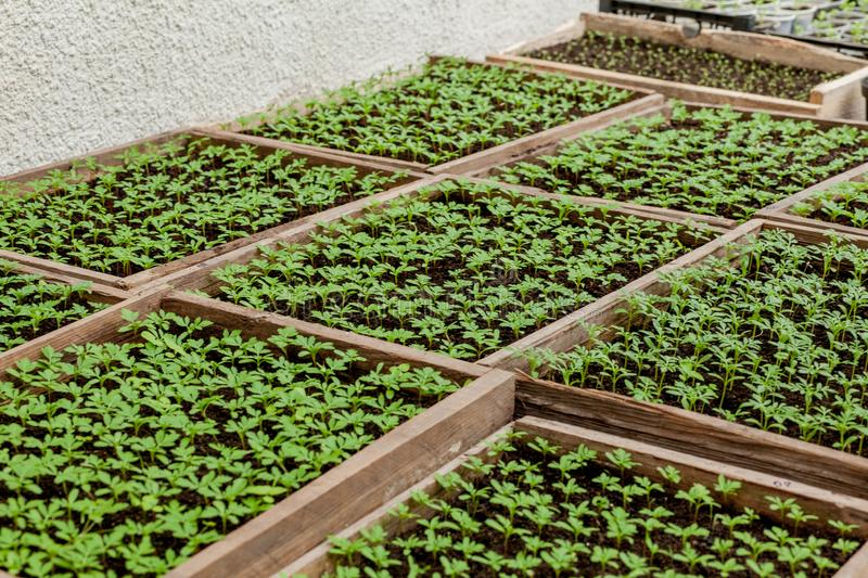 Seedlings in peat pots.Baby plants seeding, black hole trays for agricultural seedlings.The spring planting. Early seedling ,. Grown from seeds in boxes at home stock photo