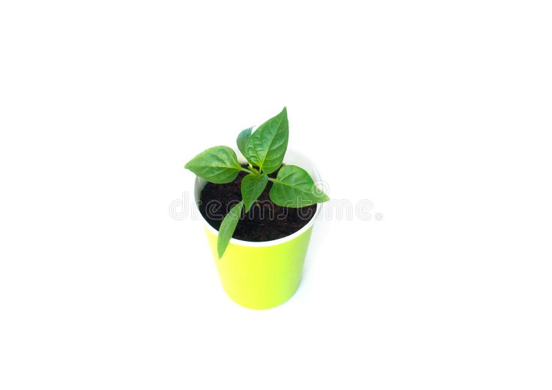 Seedlings of pepper isolated stock image